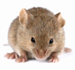 Mouse Removal from Hackettstown and Long Valley NJ