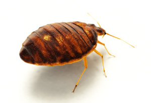 Bed Bugs - Warren County Exterminator