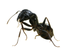 Carpenter Ant Removal from Hackettstown and Long Valley, NJ