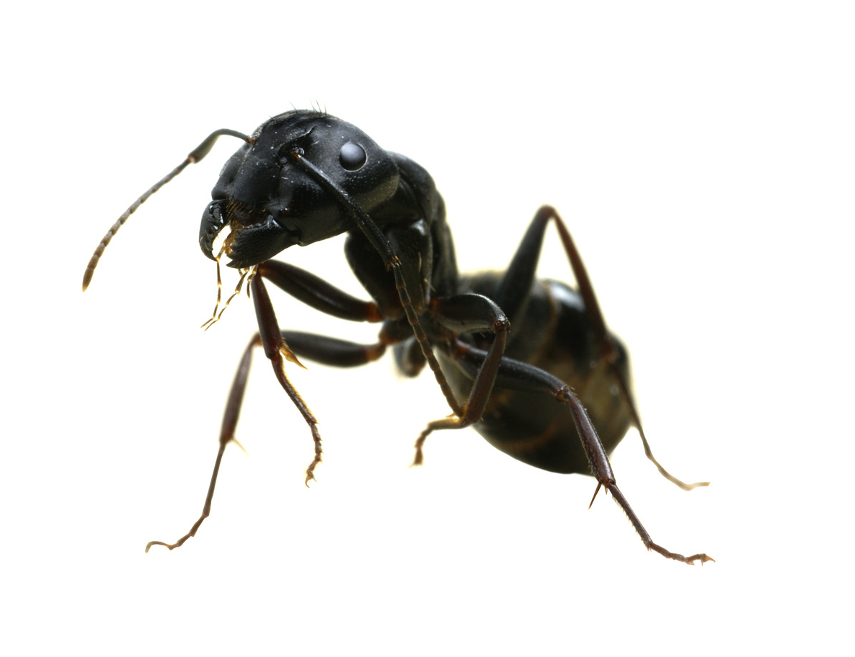 Carpenter ants natural control