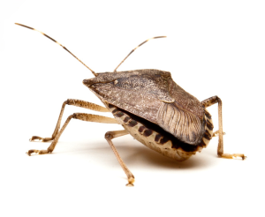 Stink Bugs - Hackettstown Exterminators - NJ