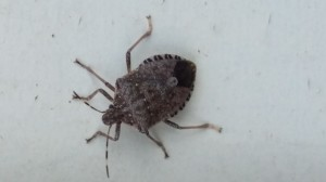 Stink bug pest control