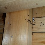 Pest control for Carpenter Bees/ Carpenter Ants