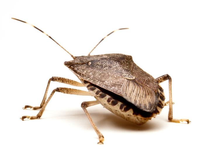 Stink Bugs Nj Exterminator All Seasons Pest Control