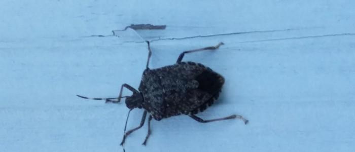 It's stink bug season again